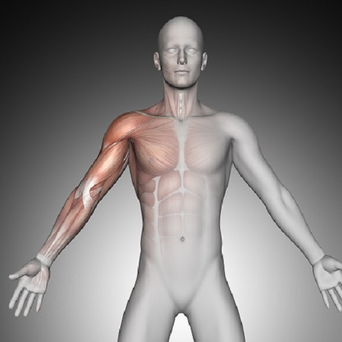 3D render of a male medical figure with shoulder muscles highlighted